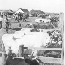 Cattle show at the 1955 Agricultural Exhibition.